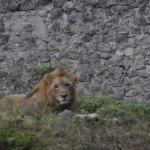 Havana Lion at the Zoo