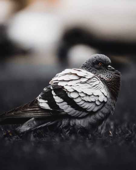 selective focus photography of gray pigeon