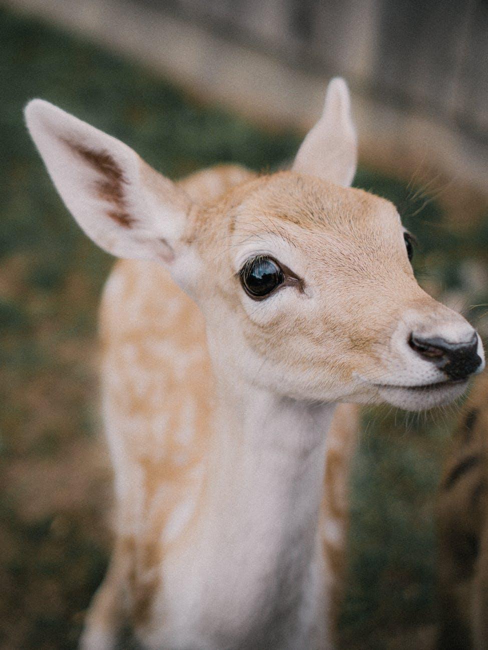 baby roe deer standing and looking