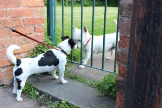 Friendly Westie in Clayworth