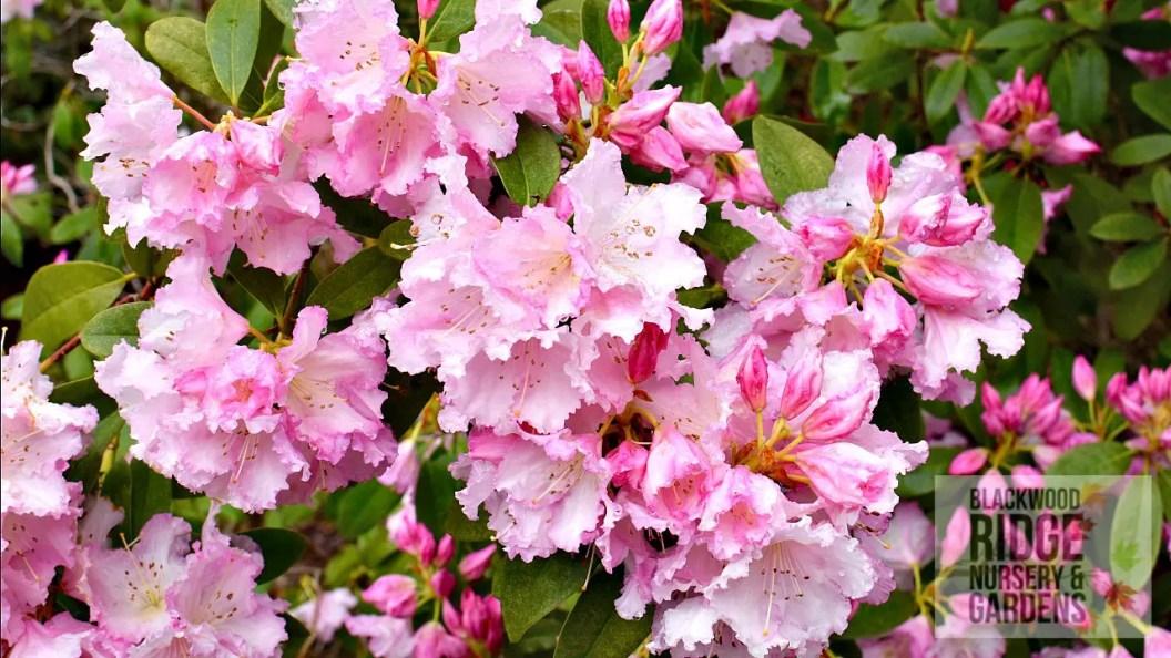 Rhododendron Jeanette Clarke