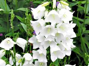 Campanula persicifolia 'White Bells'