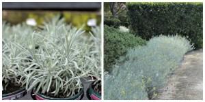 Helichrysum 'silver spike'