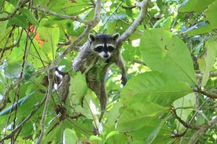 Ein putziger Waschbär lief uns an verschiedenen Stellen über den Weg und wir sahen weitere in den Bäumen relaxen.