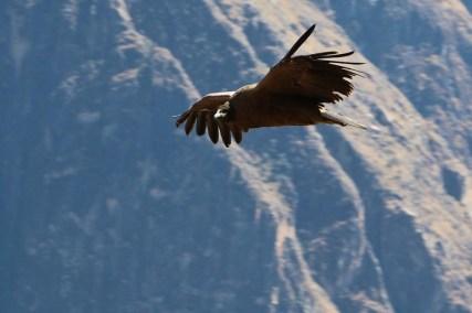 Kondore im Colca Canyon