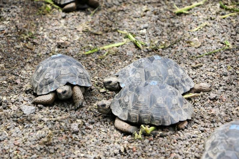 Kleine und grosse Schildkröten leben in der Aufzuchtstation.