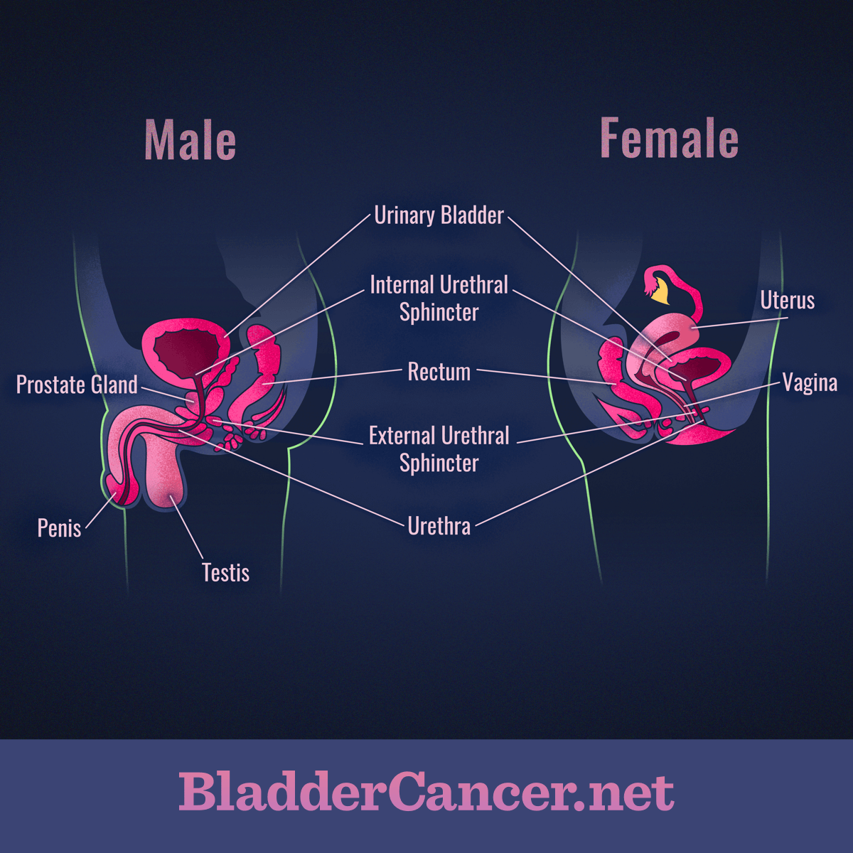 Anatomy Of The Bladder And Urinary Tract
