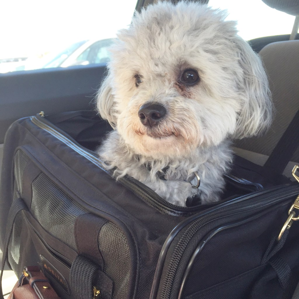 Check-In With Charley, Our 2.5 Year Old Maltipoo
