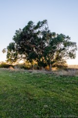 lonely eucalypt
