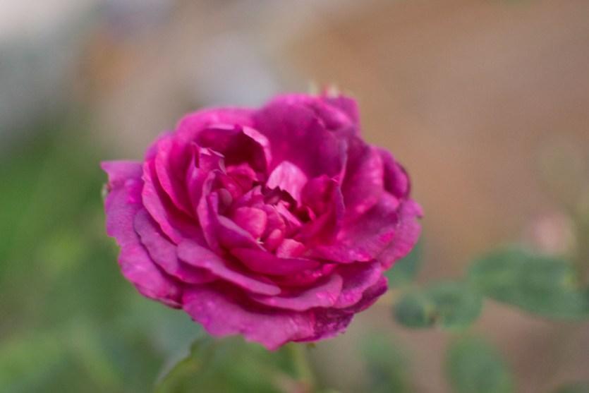 rose2_modifié-1