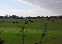2008 Cows at Auchentibber