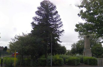 2012 Monkey Puzzle tree at Cemetery