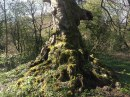 2014 Tree near Milheugh Mill ruins (PV)