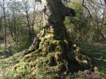 2014 Tree near Milheugh Mill ruins (PV)