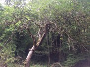 2014 Apple Tree in Greenhall Orchard, by PVeverka