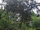 2014 Apple Tree Greenhall, Blantyre by PVeverka