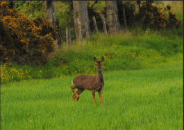 2009 Roe Deer at Auchentibber by Jim Brown
