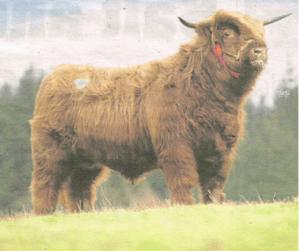 2015 Little Callum, bull.
