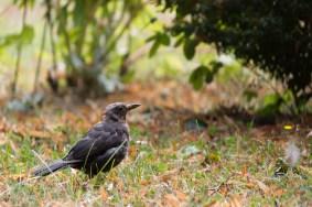 Natur Tiere Vögel Amsel