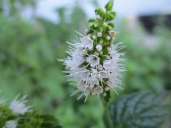 fragrant mint flowers