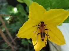 orange bug cucumber flower
