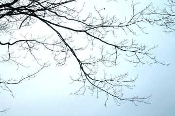 Maple tree branches.