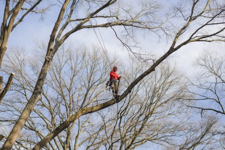 Tree climbing and pruning: Blazer Tree Services, Richmond VA area