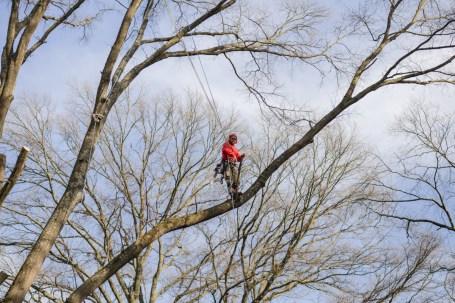 Tree climbing and pruning: Blazer Tree Services, Richmond VA area