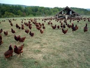 eggmobile_and_flock_of_chickens_at_polyface_farm