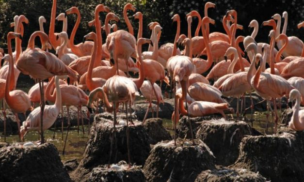 Venezuelans Forced to Eat Flamingos to Survive Socialist 'Maduro Diet'