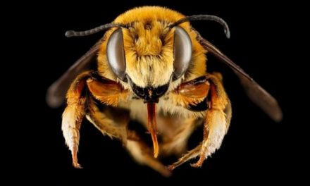 2 Studies Show 347 Native Bee Species 'Spiraling Toward Extinction'