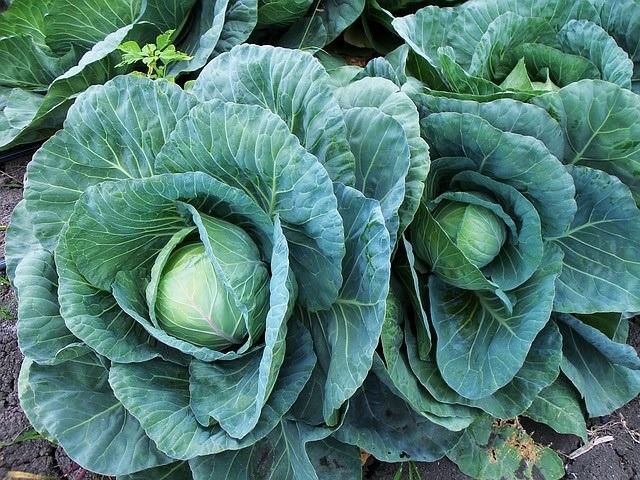 Best Detox Cleanse Vegetables - Cabbage