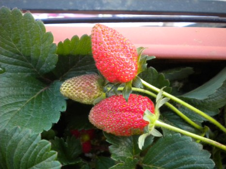 01-05-2012 One month later still having stawberries, today I still have every week