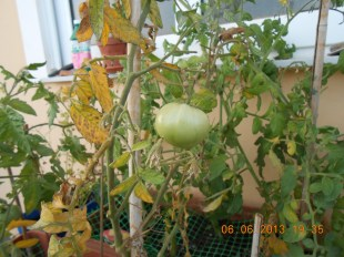 What can you have in your balcony - Tomatoes Photo Credit: Camille Delcour