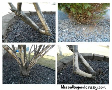 chewed bushes