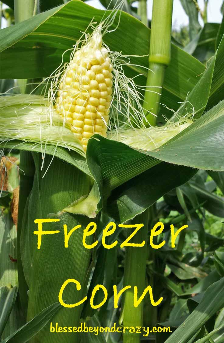 how many kernels on an ear of corn