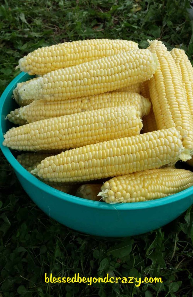 Fresh, juicy, succulent sweet corn straight out of the garden