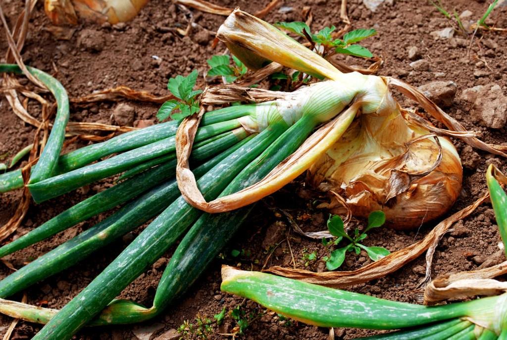 How to grow onions 10
