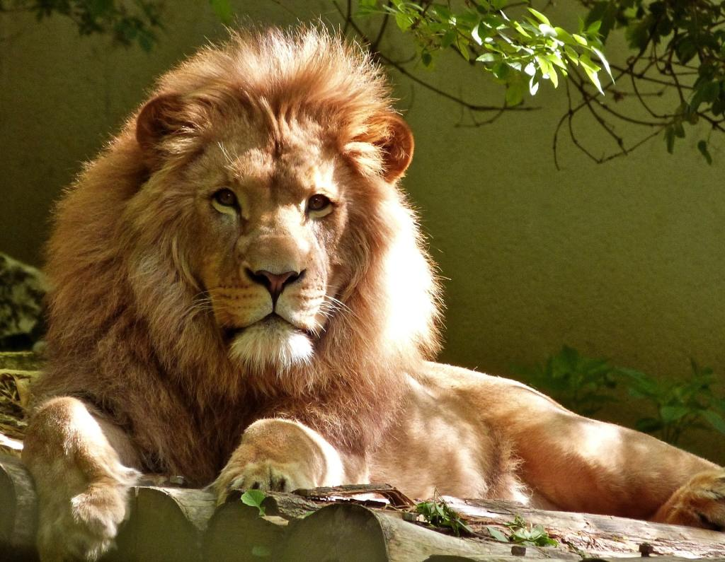 A fully mature male lion king.