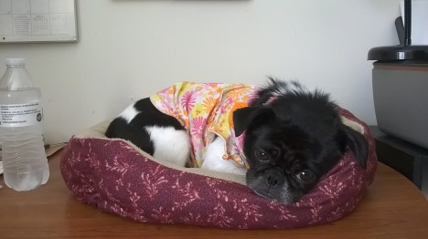 annabelle-in-pet-bed-on-desk