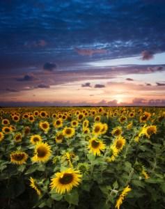 istock sunflowers