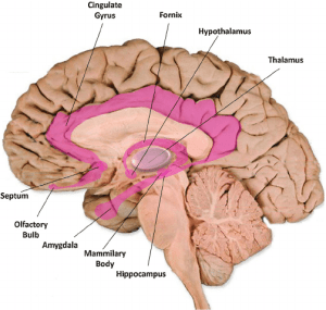 Limbic-system-structures-The-various-structures-of-the-limbic-system-shown