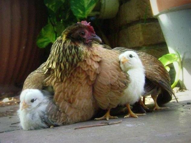 une poule rousse et ses poussins (les fiertés - savoir-faire français - de la Petite Rousse)
