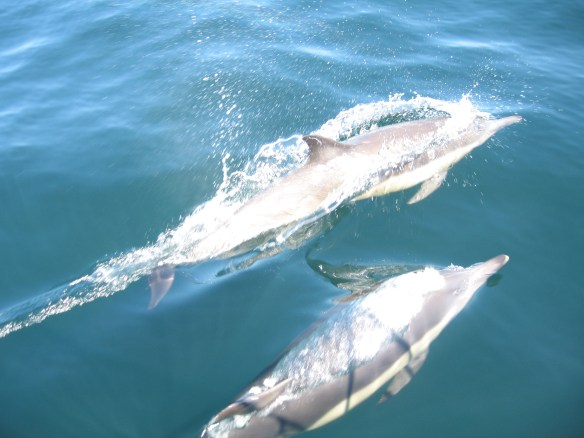 Two dolphins at the bow. Photo by Debbie Gardiner.