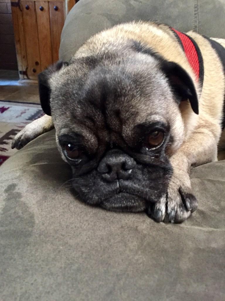 pug with sad face