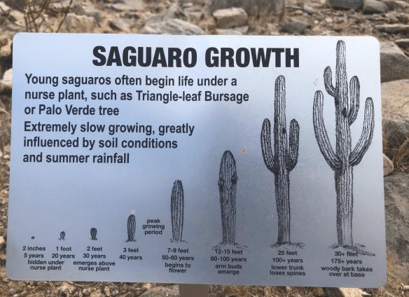 saguaro growth
