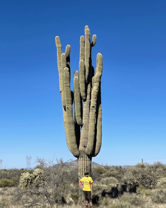 Ancient saguaro cactus with a dozen arms