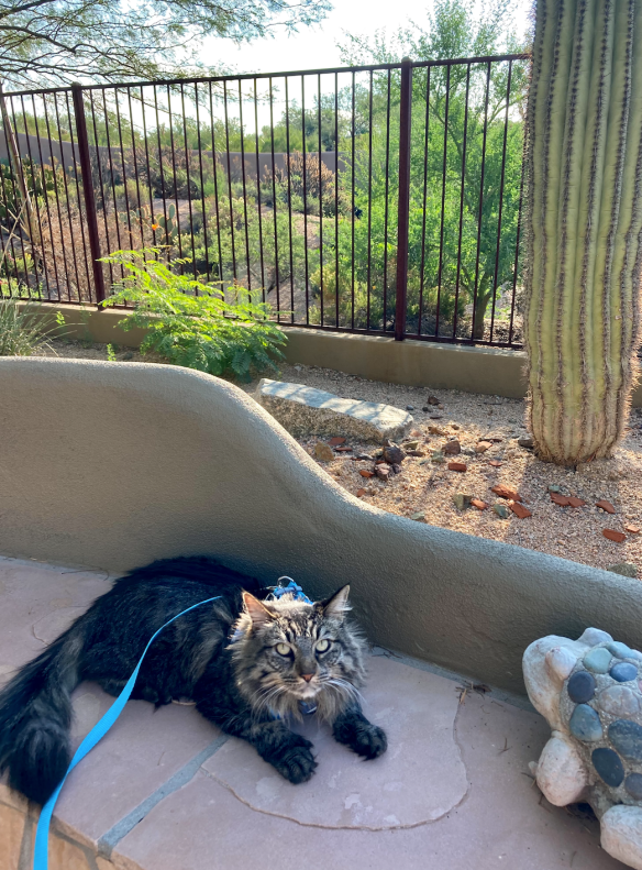 cat on a leash in the desert