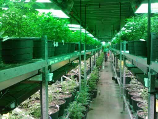 cultivo de cannabis en interior california