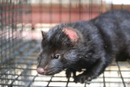 Mink with bite wound